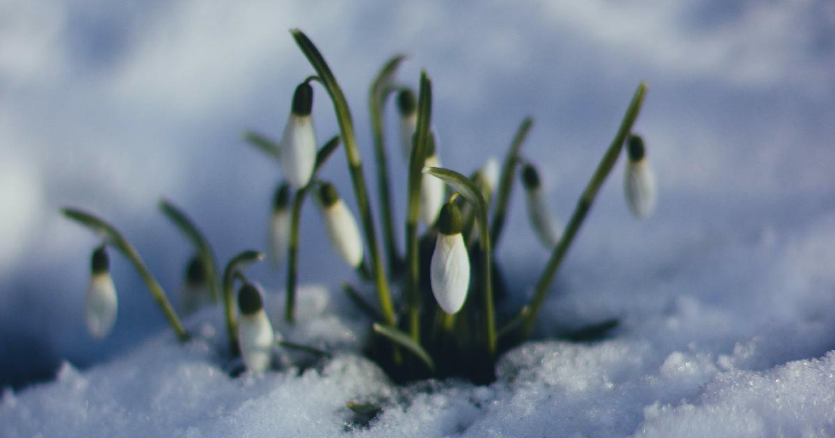 Ghiocei ieșind din zăpadă